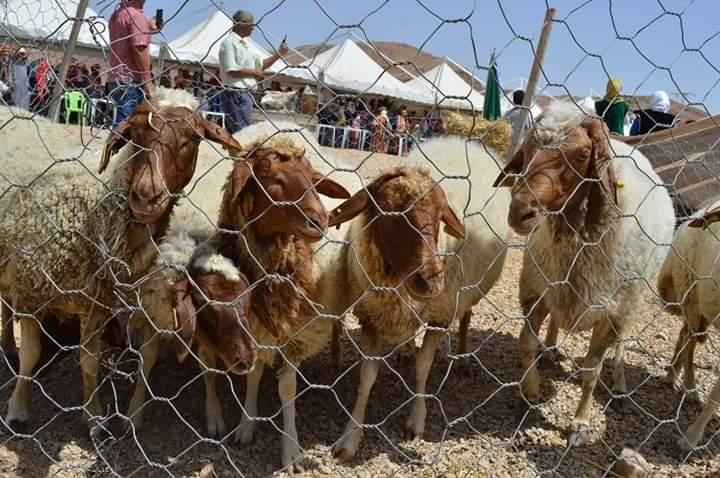 في سيدي بوزيد :  تعاون تونسي ايطالي لحماية الخروف البربري من الانقراض:
